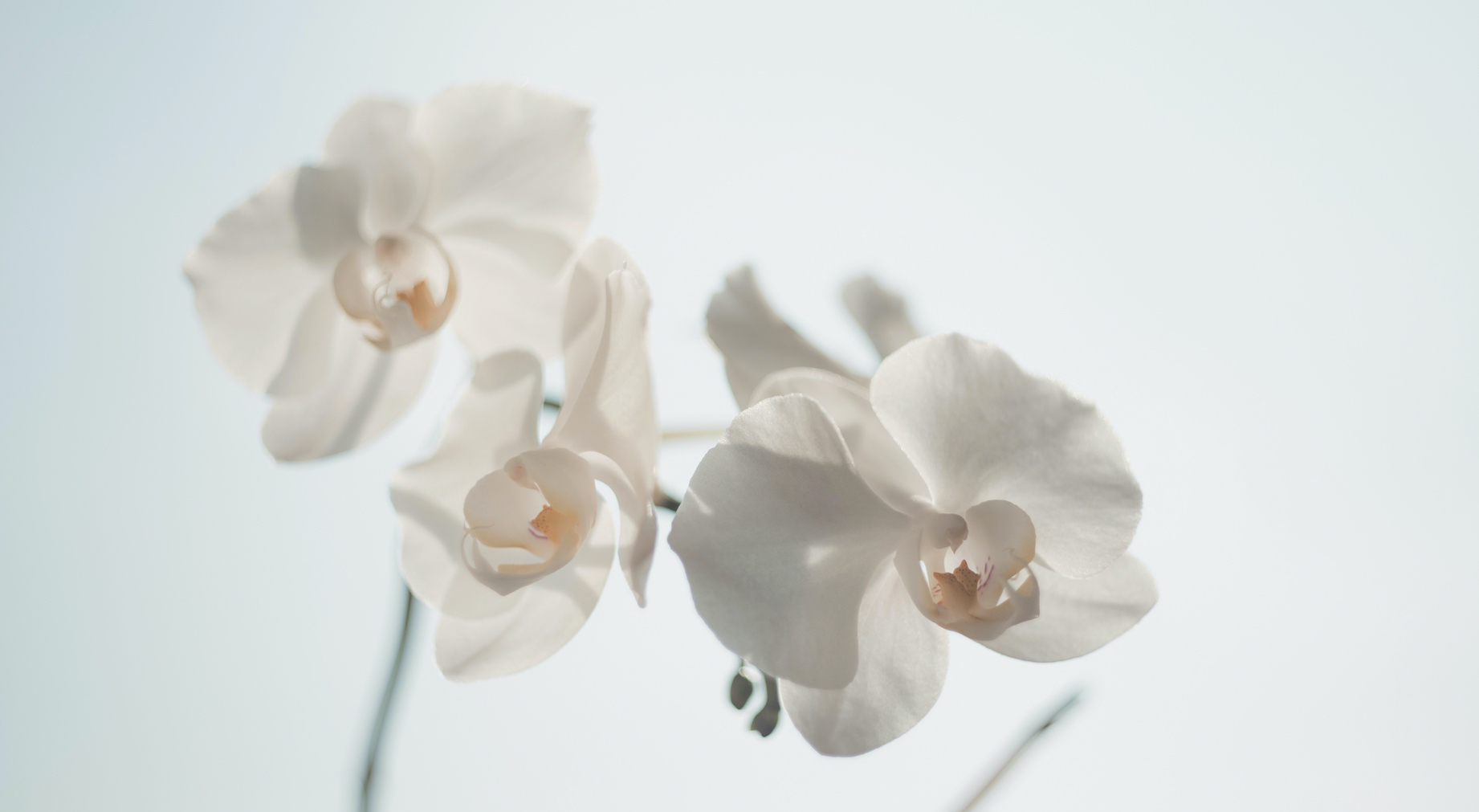 Canva - White Moth Orchid copy